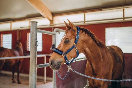 selective focus of beautiful brown horse with rig in stable, stuttgart, germany