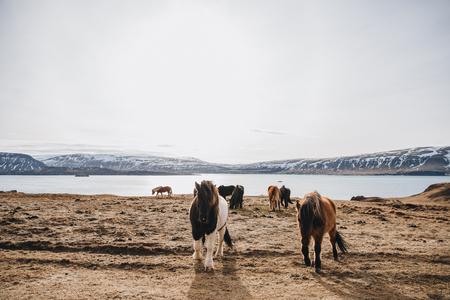 beautiful furry icelandic horses on pasture at sunny day, hvalfjardarvegur