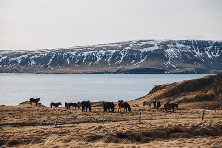 beautiful brown and black horses grazing on pasture with gulf and mountains behind, iceland, hvalfjardarvegur