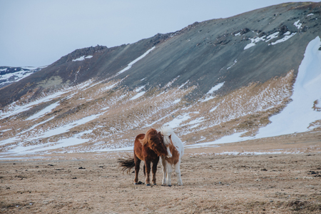 amazing icelandic horses on pasture with snow-covered hills behind, snaefellsnes, iceland