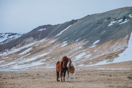 beautiful horses on pasture with snow-covered hills behind, iceland, snaefellsnes