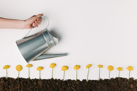 cropped shot of woman watering yellow chrysanthemum flowers in ground isolated on white Imagens