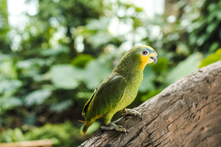 beautiful green afrotropical parrot perching on branch in rainforest Stock fotó