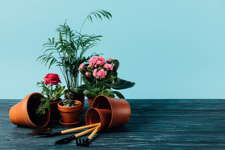close up view of plants in flowerpots and gardening tools on wooden surface on blue