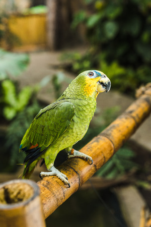 adorable green afrotropical parrot perching on bamboo fence in tropical park