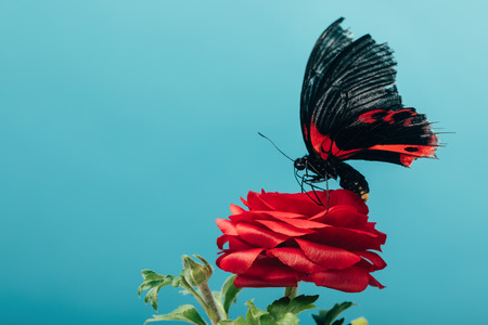 close up view of beautiful butterfly on red rose isolated on blue Stockfoto