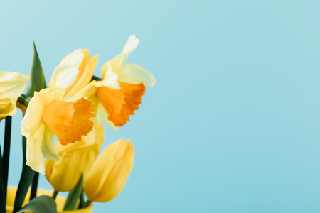 close up view of beautiful tulips and daffodils isolated on blue Banque d'images