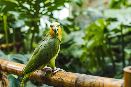 beautiful green afrotropical parrot perching on bamboo fence in tropical park Stock fotó