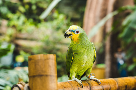 green afrotropical parrot perching on bamboo fence in tropical park Stockfoto - 106898780