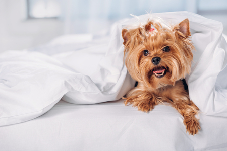 close up view of cute little yorkshire terrier lying on bed covered with blanket 스톡 콘텐츠