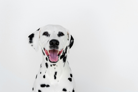 one cute dalmatian dog with open mouth isolated on white Reklamní fotografie - 106828583