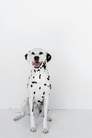 one cute dalmatian dog sitting near white wall