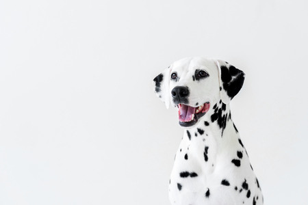 one cute dalmatian dog with open mouth looking away isolated on white Standard-Bild