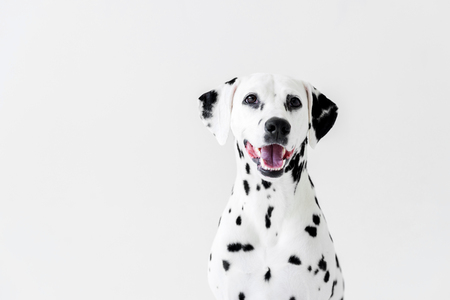 one cute dalmatian dog with open mouth isolated on white Stock Photo