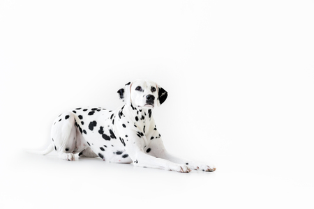 one cute dalmatian dog lying isolated on white Reklamní fotografie - 106852967