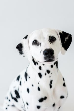 one cute dalmatian dog isolated on white Reklamní fotografie
