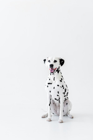 one cute dalmatian dog sitting on white