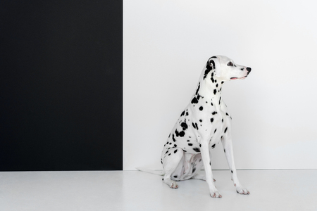 side view of one cute dalmatian dog sitting near black and white wall Reklamní fotografie - 106868116