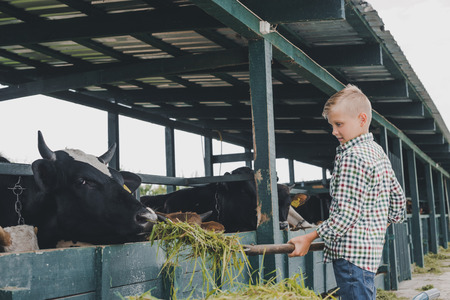 side view of child feeding cows with grass at ranch Stock Photo