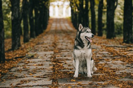 husky dog sitting on foliage in autumn park
