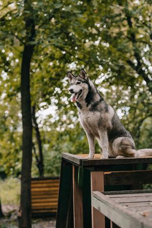 husky dog sitting on obstacle on agility ground