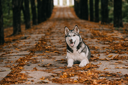 husky dog on foliage in autumn park Banco de Imagens