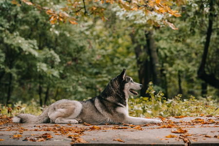 husky dog lying in autumn park