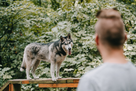 selective focus of cynologist training with husky on dog walk obstacle