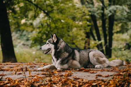 siberian husky dog on foliage in autumn park