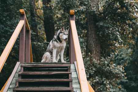 grey siberian husky dog on agility ground in park