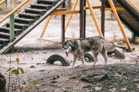 siberian husky dog on agility ground Banco de Imagens