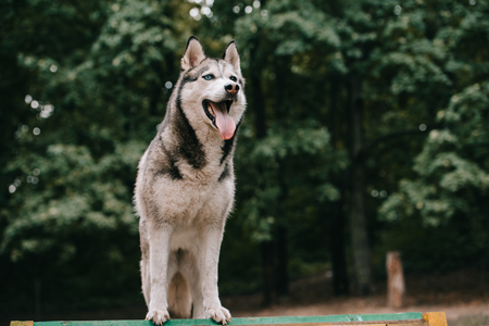 grey siberian husky dog in park Stock fotó