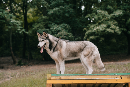 grey husky dog on agility ground