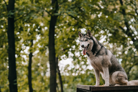 siberian husky dog on agility ground in park Banco de Imagens