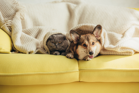 cute scottish fold cat and welsh corgi dog lying under blanket on sofa