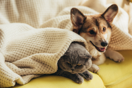 funny scottish fold cat and welsh corgi dog lying under blanket on sofa Stockfoto