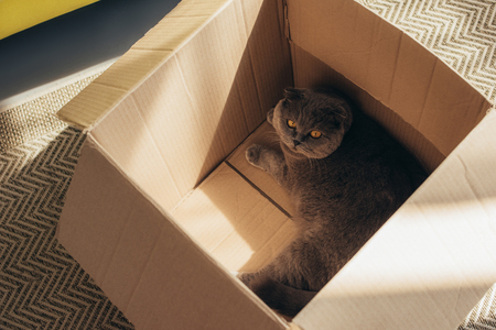 cute fluffy scottish fold cat in cardboard box