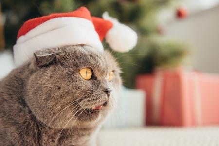 funny scottish fold cat in santa hat lying under christmas tree Stok Fotoğraf