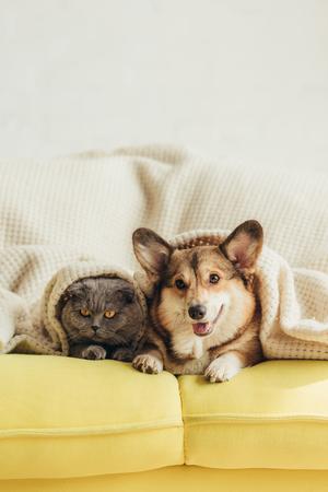 Lindo perro y gato Welsh Corgi acostado bajo una manta en el sofá