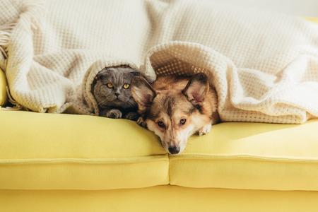 scottish fold cat and welsh corgi dog lying under blanket together on sofa Imagens