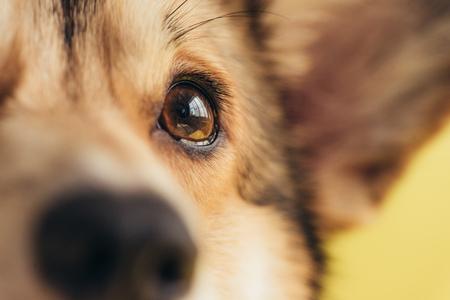 Nahaufnahme des Auges des walisischen Pembroke-Corgi-Hundes Standard-Bild
