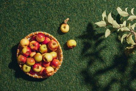 delicious apples in wicker bowl with apple tree leaves on grass