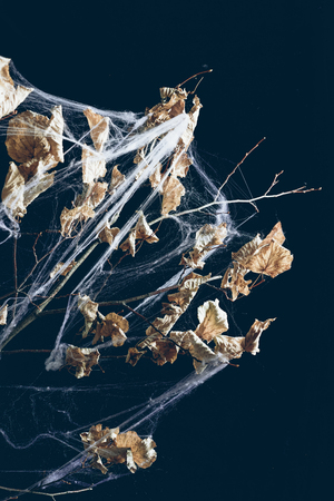 dry branch with leaves in spider web in darkness, halloween decor