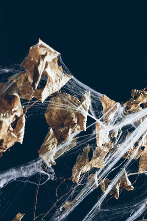 scary dry branch with leaves in spider web on black, halloween decor