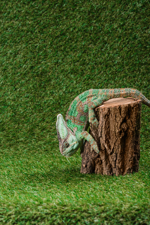side view of beautiful bright green chameleon climbing down stump Stock fotó
