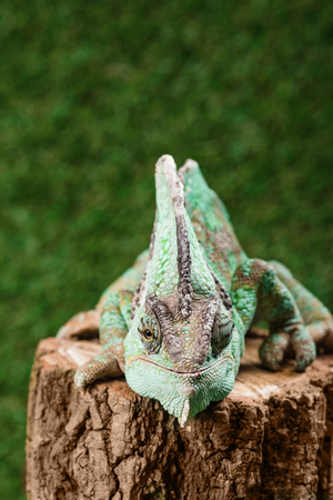 funny beautiful bright green chameleon sitting on stump