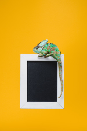 beautiful colorful reptile on blackboard in white frame isolated on yellow