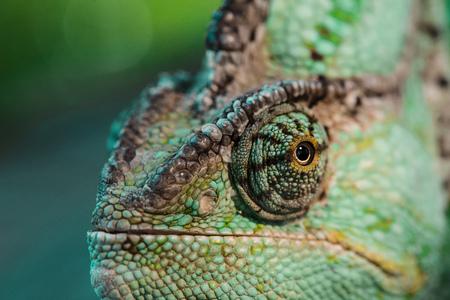 close up of beautiful bright green chameleon Standard-Bild