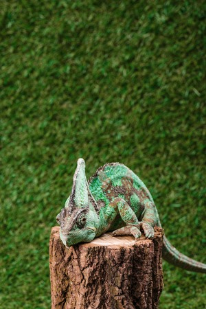beautiful bright green chameleon sitting on stump with green grass as background Archivio Fotografico - 108318860