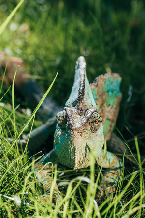 beautiful bright green chameleon sitting in green grass and looking at camera